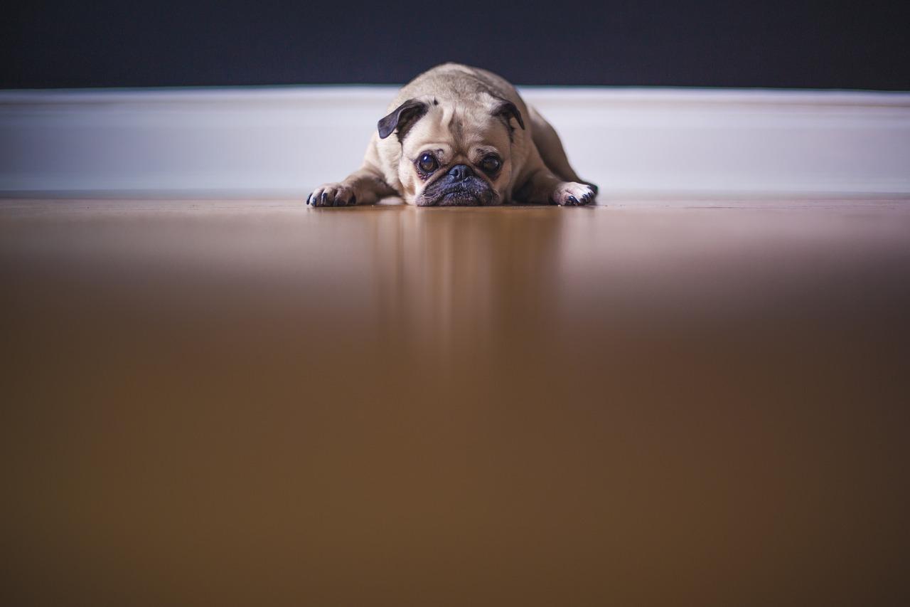 Not motivated sad dog.